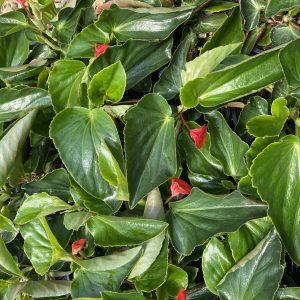 Begonia Dragonwing Red